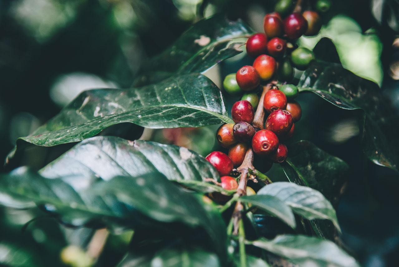 Biologische koffie, wat is het en wat is het voordeel?